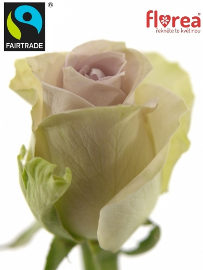 Fairtrade svazek růží ROSA MORNING DEW! 50cm (S)