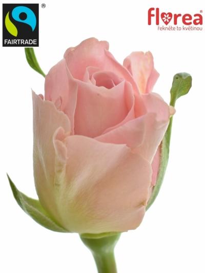 Fairtrade svazek růží BABYFACE 50cm (S)