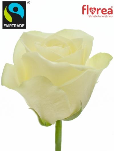 Fairtrade svazek růží ROSA SNOWSTORM 50cm (S)