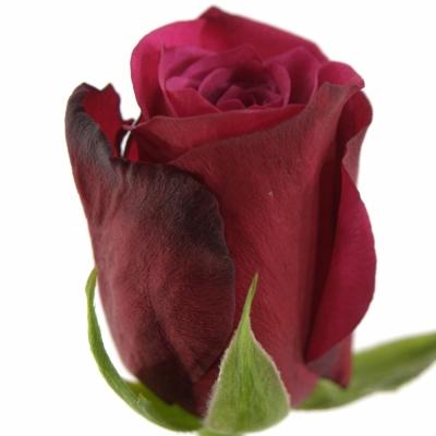 Fialová růže AMALIA