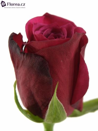 ROSA AMALIA 50cm