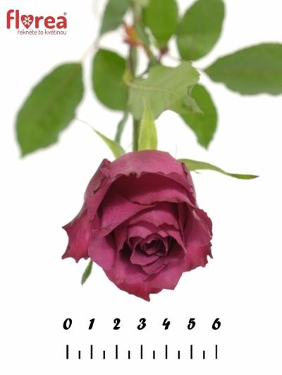 ROSA BLUEBERRY 80cm