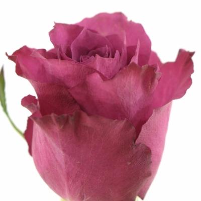 Fialová růže BLUEBERRY