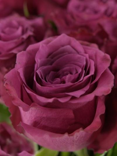 ROSA BLUEBERRY 60cm (L)