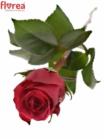 Fialová růže CHERRY O! 70cm