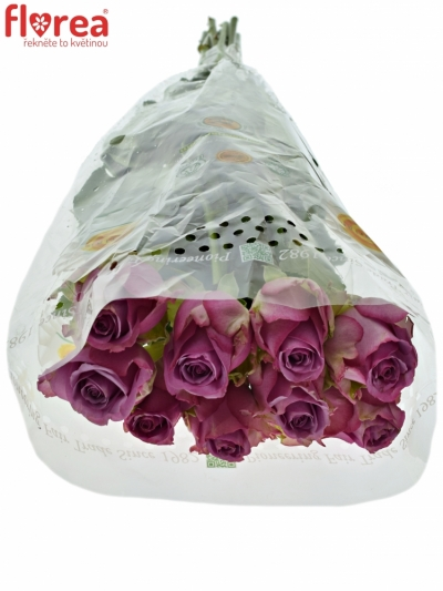 ROSA COOL WATER 60cm (XXL)