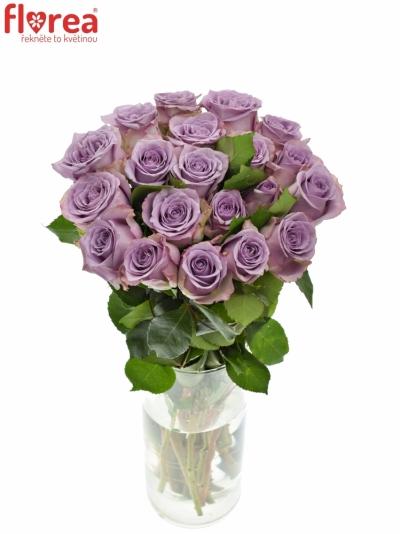 Fialová růže DANCING CLOUDS! 60cm