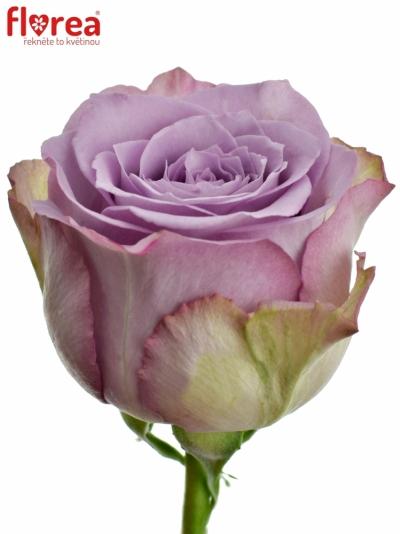 Fialová růže DANCING CLOUDS! 40cm (M)