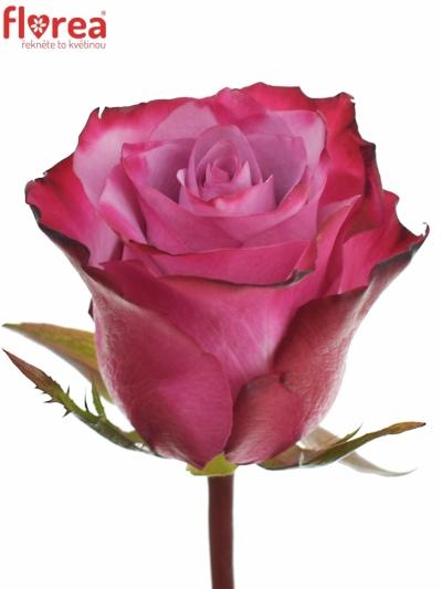 Fialová růže DEEP PURPLE