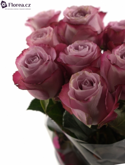 Fialová růže GLOBAL WATER 50cm