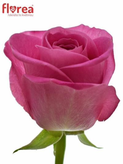 Fialová růže H3O 50cm
