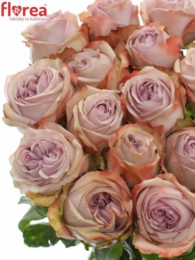 Fialová růže LILAC WONDER 50cm (XL)