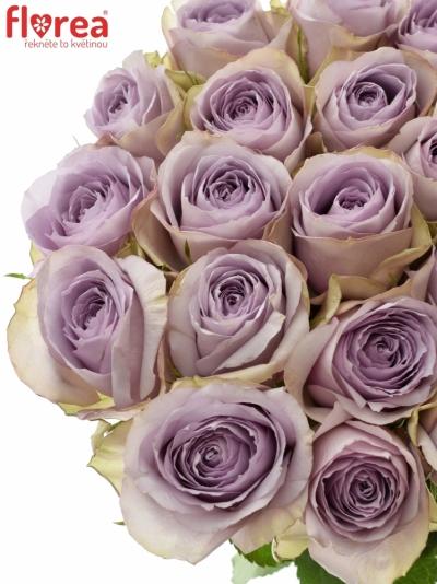 Fialová růže LULLABY 60cm (L)