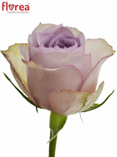 Fialová růže LULLABY 60cm (XL)