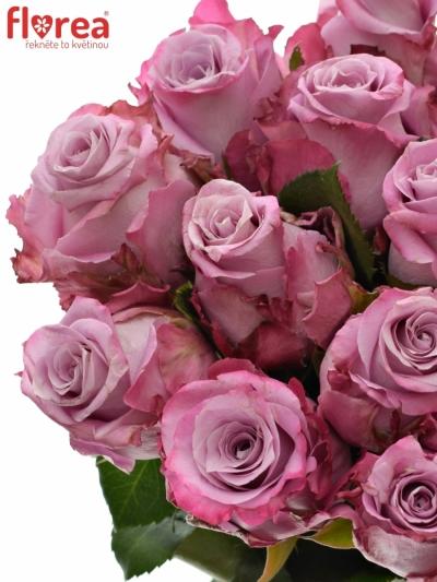 Fialová růže MARITIM