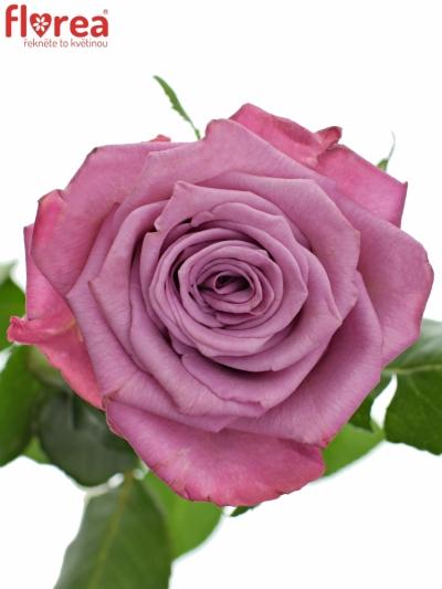 ROSA MOODY BLUES 80cm (XL)
