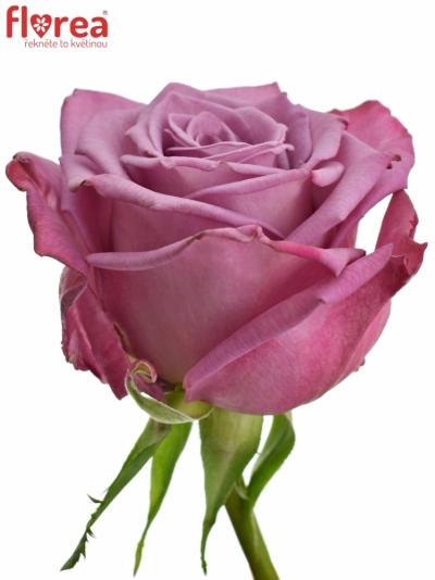 Fialová růže MOODY BLUES 50cm (M)
