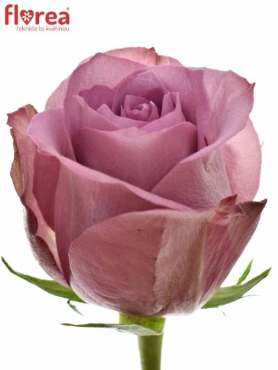 Fialová růže NEW ORLEANS 50cm (L)