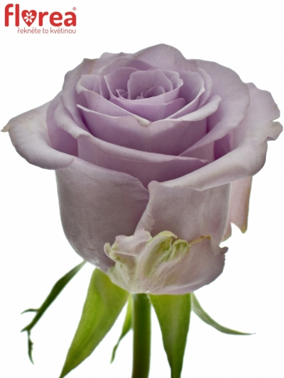 Fialová růže OCEAN SONG 60cm (M)
