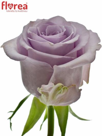 Fialová růže OCEAN SONG 70cm (XXL)