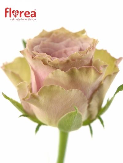 Fialová růže OLD DUTCH 60cm