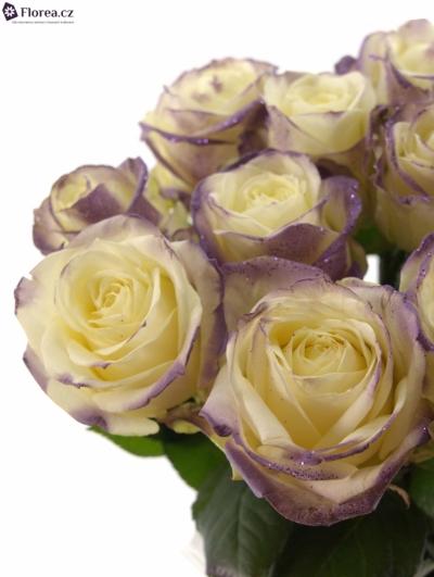 Fialová růže PURPLE SATIN