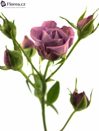Fialová růže PURPLE SYMPHONI