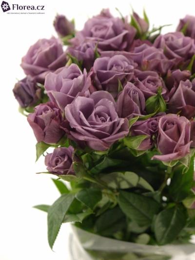 Fialová růže PURPLE SYMPHONI 50cm/6+
