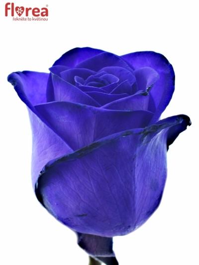 Fialová růže PURPLE VENDELA 80cm (XL)