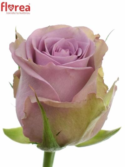 Fialová růže SAMANTHA BRIDAL