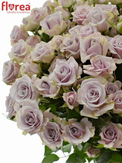 Fialová růže trsová SILVER SHADOW 50cm/4+