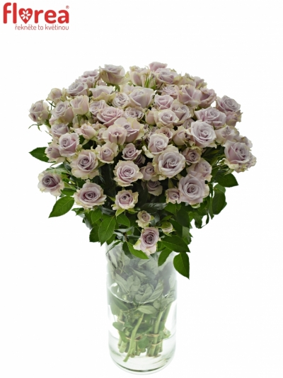 Fialová růže SILVER SHADOW 40cm/3+