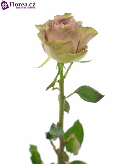ROSA TIARA 35cm