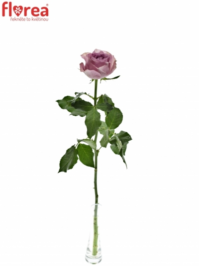 Fialová růže WHATEVER 60cm (M)