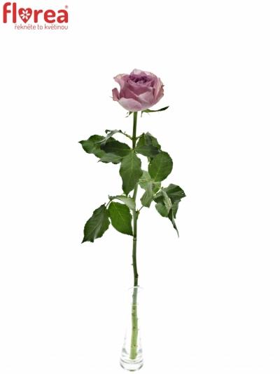 ROSA WHATEVER 50cm (M)