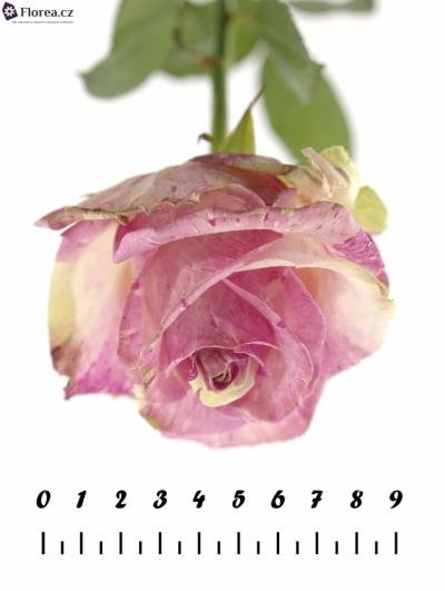 Růžovokrémová růže FREAKY AVALANCHE+