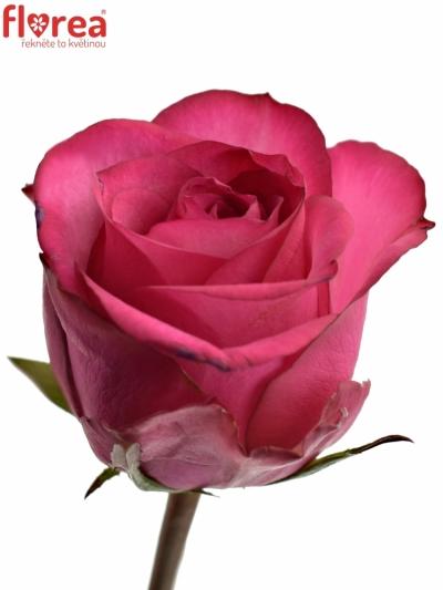 Fialovobílá růže ISADORA 90cm