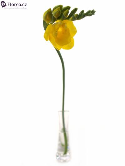 FRESSIA DU CLARISSA 50cm/25g