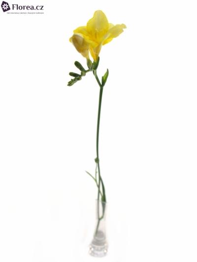 FRESSIA DUKAAT 54cm/14g