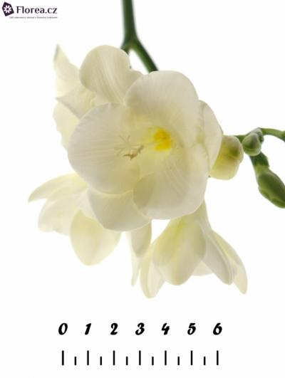 FRESSIA EN CORVETTE 40cm/11g