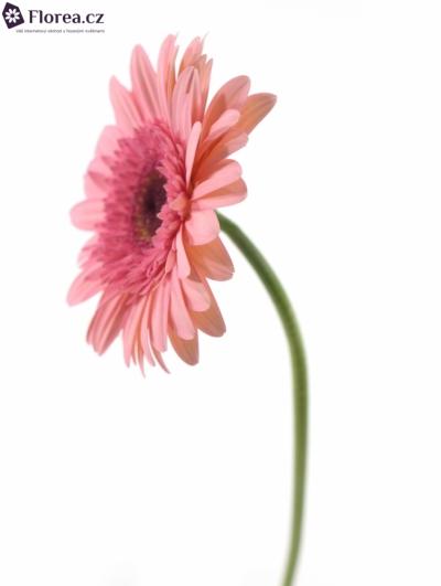 Gerbera GR ABRIANA 10cm