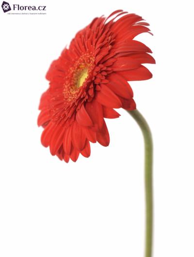 Gerbera GR ANTARIS 10cm