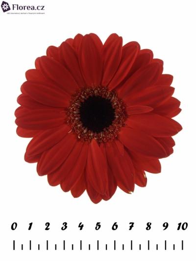 Gerbera GR BLINDDATE 10cm