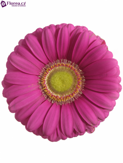 GERBERA GR CELEBRATIONS 10cm