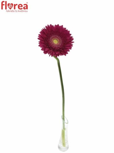 GERBERA GR CRANBERRY 10cm