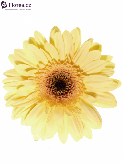 GERBERA GR CREAM EYE 10cm