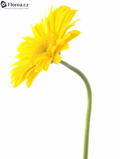 Gerbera GR DINO 10cm