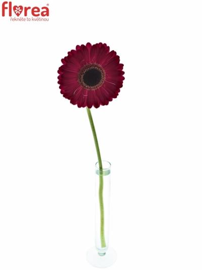 Gerbera GR LUCIO 10cm