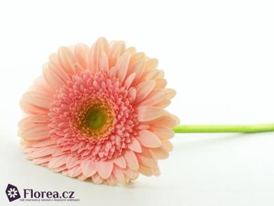 Gerbera GR PRIME TIME 10cm