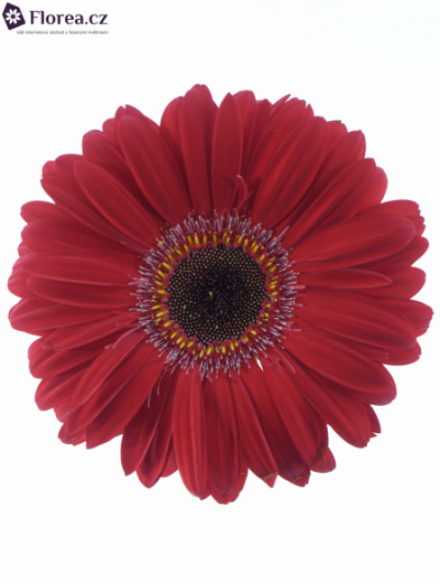 Gerbera GR RUBY RED 10cm